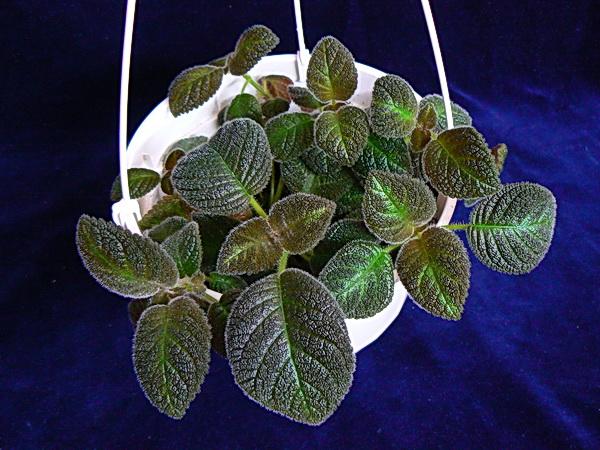 Lilacina Limon