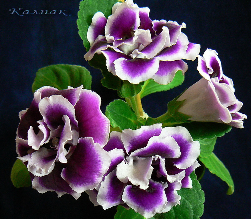 Брокаде Фиолетовая Махровая